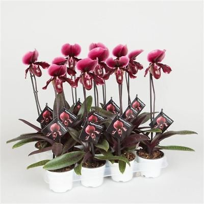 Orchid Paphiopedilum 'Black Jack' Plant in a 9cm Pot. Ladies Slipper Orchid