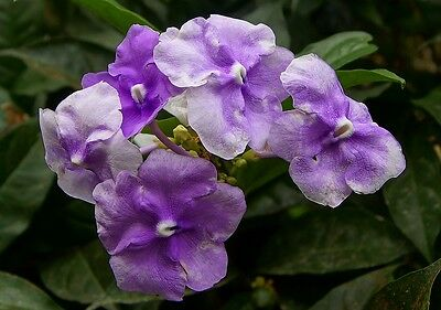 Brunfelsia pauciflora Compacta (Yesterday Today Tomorrow) x 1 plant