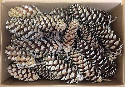 50 Organic Fire Lighters Spruce Pine Cones for Log Burner Stove Open Fire Xmas