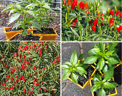 Hot Thai Chilli Plant - An Extreme High Yield Hot Thai Chilli Variety - $14.99