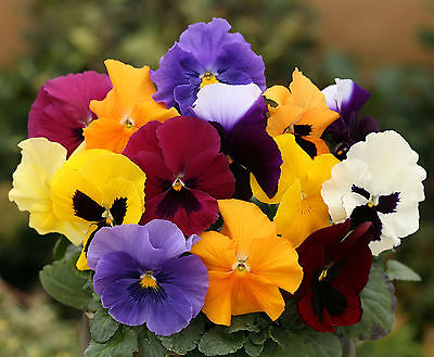 70 Pansy Grande Fragrance Scented Mix Garden Flower Bedding Plug Plants