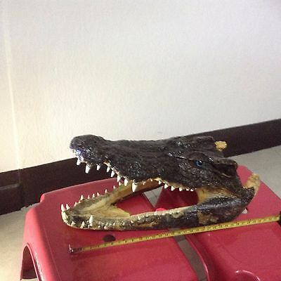 "100% Real Genuine Freshwater Crocodile Skull Taxidermy Head 12""(HTF)6 Skill"