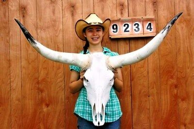 "Steer Skull Long Horns Mounted 3' 10"" Cow Bull Taxidermy Longhorn H9234"