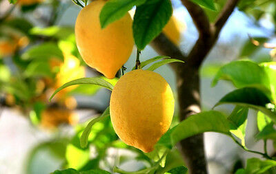Lemon Tree Seeds Grow Your Very Own Lemon Tree Citrus Fruit