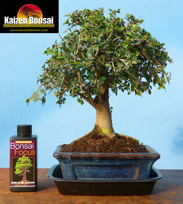 Indoor Bonsai Tree, Chinese Elm Broom Style & Gift Box