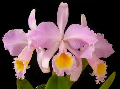 Cattleya schroederae Blooming Size Fragrant Orchid Plant