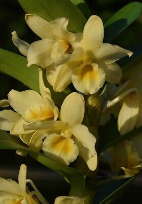 Dendrobium Yellow Song 'Canary' Blooming Size Fragrant Orchid