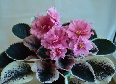 "African violet ""LE -ODALISKAX"" YOUNG ESTABLISHED PLANT"