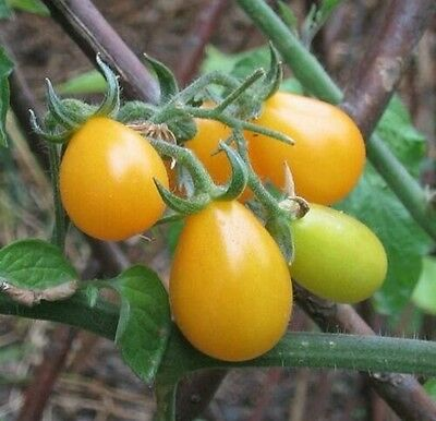 "Tomato ""Yellow pear"" Seeds 25 Seeds"