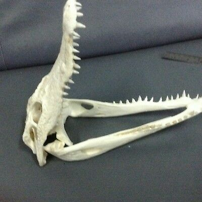 "100% Real Genuine Freshwater Crocodile Skull Taxidermy Head 8"" (HTF) 1"