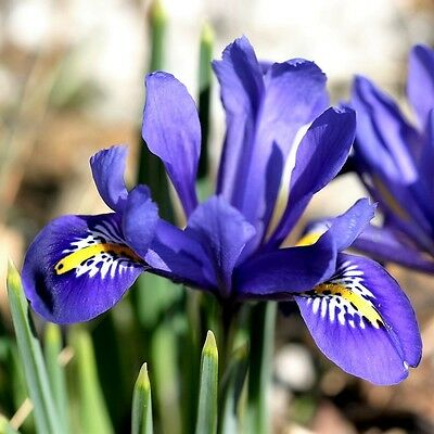 20 x  Iris Reticulata Bulbs.Easy to grow. Beautiful Bright Blue Spring Flowers