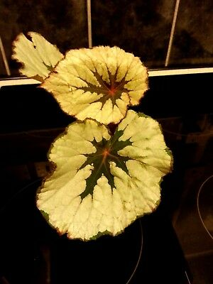 Begonia Rex . Mother Pearl Green/pink Leaves./// Young Healthy Plants ///