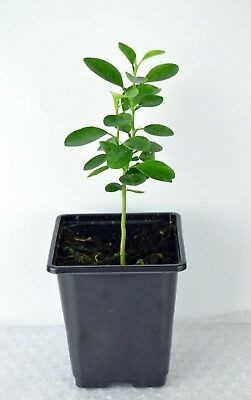Citrus ' Lime ' Tree Plant in 9 cm Pot - 12 cm Tall