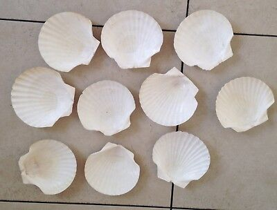 """10 LARGE 5 1/2"""" Lions Paw Scallop Clam Shell Seashell Beach Crafts Soap Dishes"""
