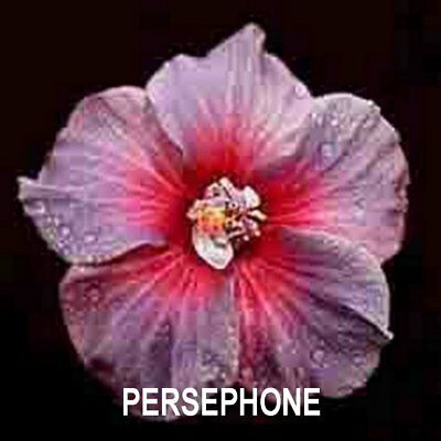 Hibiscus Plant X1 Exotic Evergreen Tropical Hawaiian  Flower Plants Persephone