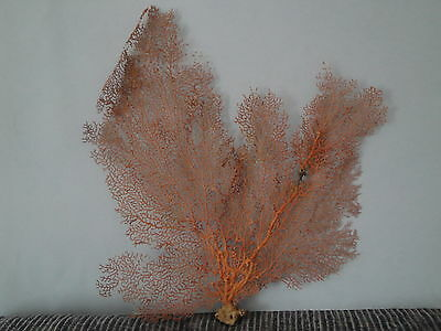 "15""x 14.2"" Pacifigorgia Natural Red Sea Fan Seashells Reef Coral"