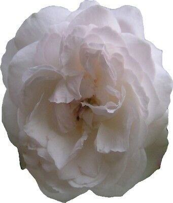 Rose Plant Boule de Neige Rose Bush Heritage Rose Snow Ball Rose