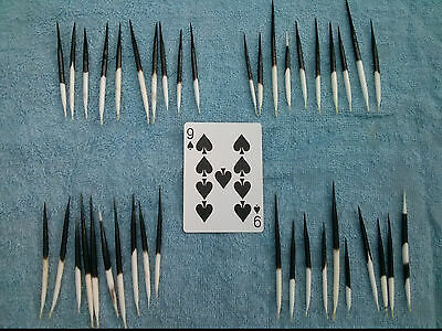 "40 African Porcupine Quills 2""- 5"" Hairpins, Jewelry, Caligraphy, Collage (9s)"