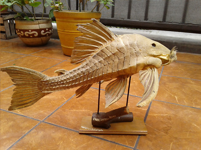 """Exotic South American taxidermy Catfish 19"""""""