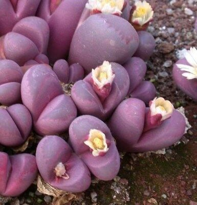 Lithops optica cv. Rubra Beautiful Sought after Lithops Nambia - Fresh Seeds