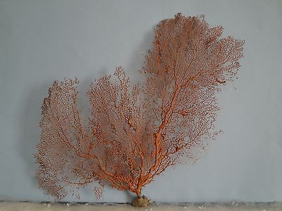 "20""x 16"" Large Pacifigorgia Red Sea Fan Seashells Reef Coral"