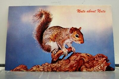 Animal Squirrel Nuts about Nuts Postcard Old Vintage Card View Standard Souvenir