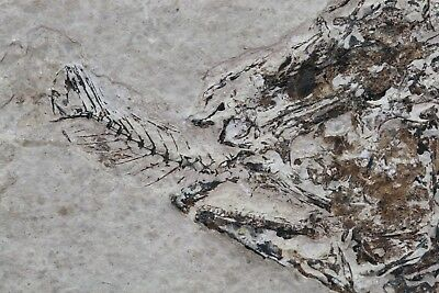 Very Cool Fossil Fish Aspiration Choke on Meal Green River Formation Wyoming