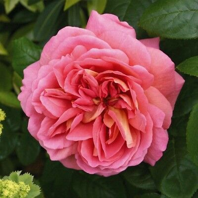 The Endeavour David Austin Rose Fragrant Rose Romantic Shabby Chic Cottage Farm