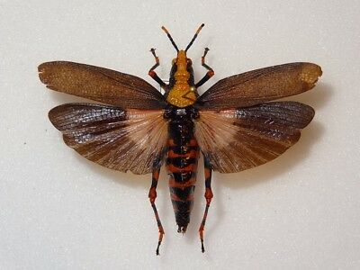 Orthoptera Sp.27, Tanzania, Rare And Interesting Species