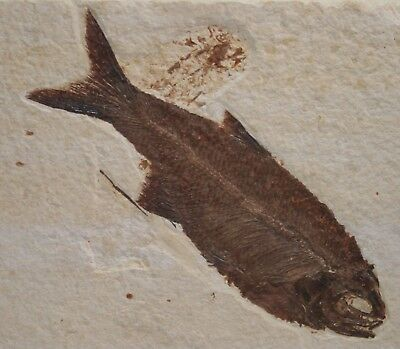 Sharp Teeth Hiodon Eohiodon Mooneye Fossil Fish Green River Formation Wyoming