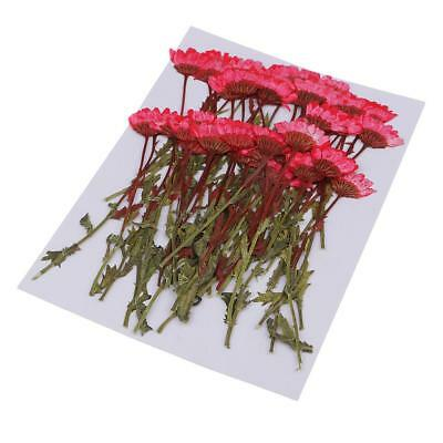 50pcs Pressed Dried Flowers Red Chrysanthemum for DIY Craft Card Making
