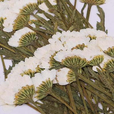 50pcs Pressed Dried Flower Off-White Chrysanthemum for DIY Craft Card Making
