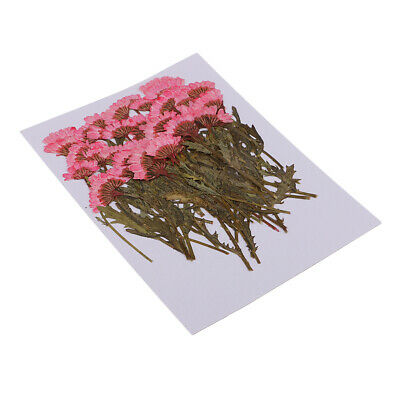50pcs Pressed Dried Flowers Pink Chrysanthemum for DIY Craft Card Making