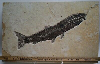 "Beautiful 22.7"" Notogoneus Osculus Fossil Fish Green River Formation Wyoming"