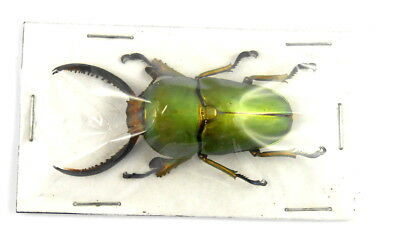 *** BEETLES, insects, (K988),  Lucanidae, Lamprima adolphinae , male ***