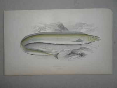 Scabbard Fish Degenfisch History of Fishes Jon. Couch Lydon Farbholzstich 1863