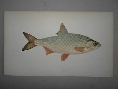 Roach Rutilus? Fisch History of Fishes Jon. Couch Lydon Farbholzstich 1865