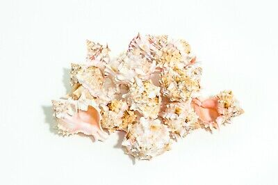 "Pink Murex Phyllonotus erythrostomu Hermit Crab Sea Shell 2"" - 3"" ( 12 pcs)"