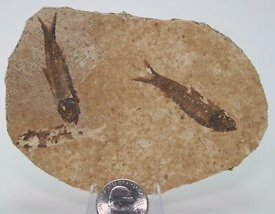 2 Juvenile Knightia  Fossil Fish NO Paint Green Fiver Formation Wyoming