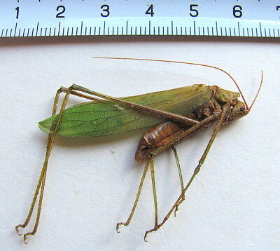***  BEETLES, insects,  (77), Orthoptera, Orthoptera  ssp. ***