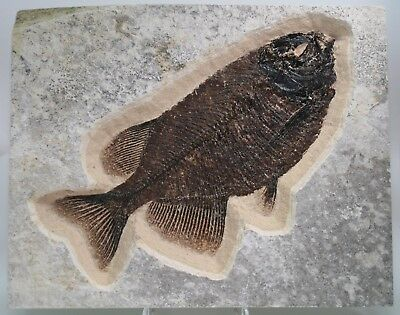 "Beautiful 11"" Phareodus Fossil Fish Green River Formation Wyoming Eocene"
