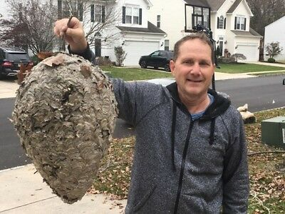 Paper Wasp Nest Hive 42 Inch Round 23 Inch Long  East Coast Cut Down 12/2/17