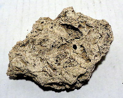 Fossil hemlock seed pod cast impression in recent cold water tufa deposit EXCLNT