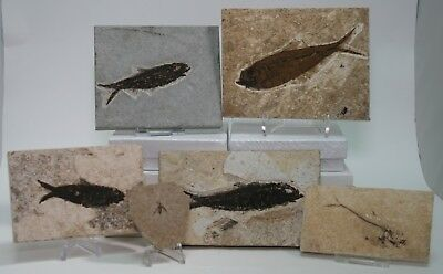Economy 5 pc. Set Fossil Fish & Insect Green River Formation Wyoming Bug