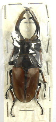 BEETLES, insects,  (K1923), Lucanidae, Prosopocoilus astacoides pallidipennis