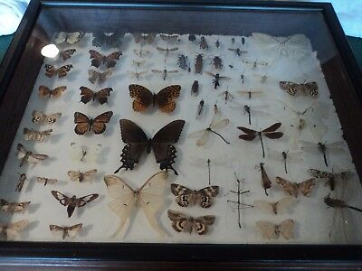 Real Mounted Butterfly/Insect Collection Framed