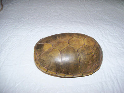 Turtle Shell - Intact