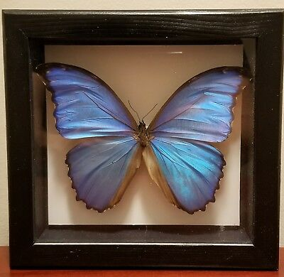 Morpho didius Real Framed Butterfly Peru