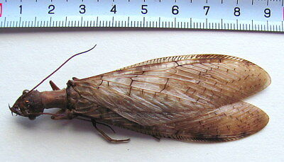 *** Butterfly, Beetles,  (83), Corydalidae, Corydalidae ssp., XL ***