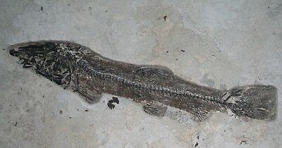 "Nice 20.3"" Notogoneus Fossil Fish Green River Formation Wyoming Eocene"